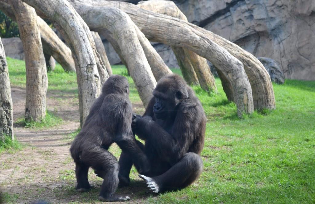 bioparc valencia spagna gorilla