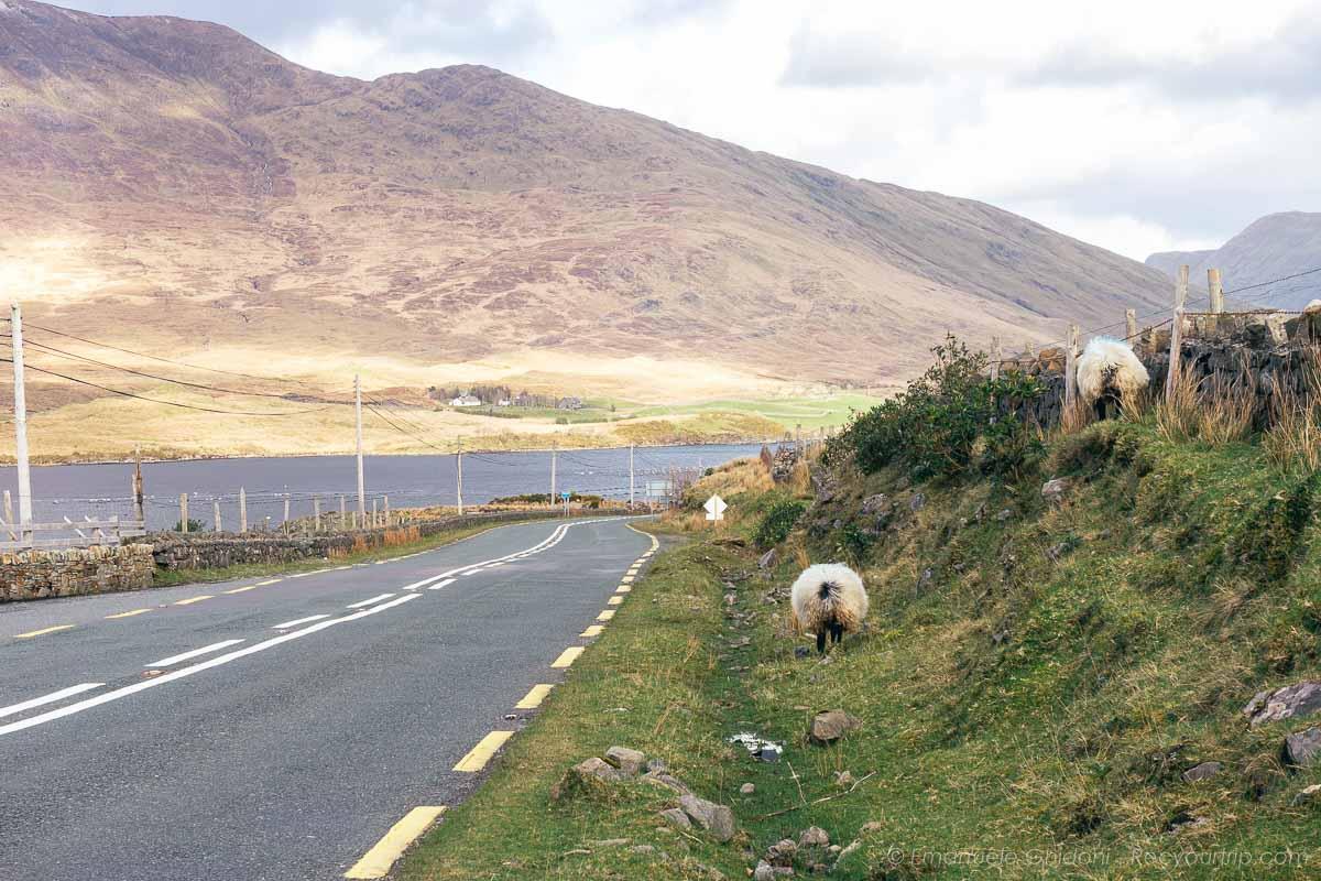 pecore nel Connemara in Irlanda